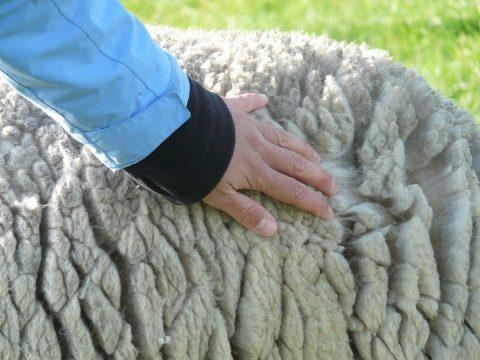 La laine de mouton en isolation intérieure